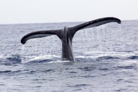 slick_haw-whale-watching_100