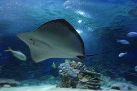 イスタンブール水族館のエイが泳ぐ姿