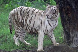 国立動物園のホワイトタイガー